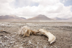 Dead flamingo. A skull of a dead flamingo in the middle of the desert with volcanos on the background Stock Images