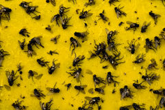 Dead Flies. On a sticky glue trap stock photos