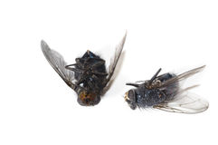 Dead flies Royalty Free Stock Photography