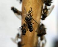 Dead flies on a flycatcher Stock Images
