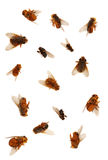 Dead Flies isolated ovr white background. Many different dead flies isolated over white background as if the pest exterminator has sprayed them all with fly stock images