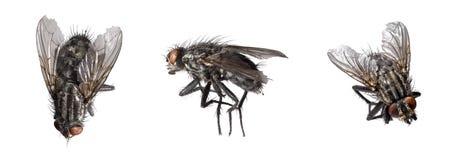 Dead flies Stock Photography
