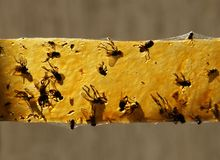 Dead flies on a sticky tape. For catching insects royalty free stock photos
