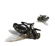 Dead flies on white background Stock Photos