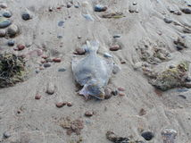 Dead fish on the sand. Picture of Dead flounder is taken on Baltic sea coast near the village Sventoji stock photo