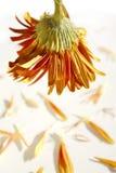 Dead Flower Stock Images