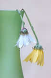 Dead Flowers. Two dead daisies hanging dovn on vase Royalty Free Stock Image