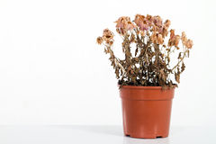Dead flowers. With flower pot on white Royalty Free Stock Image