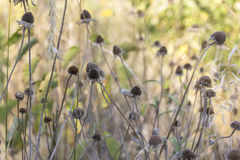 Dead Flowers. Dead coneflowers in Autumn in Taylors Falls, Minnesota Stock Images