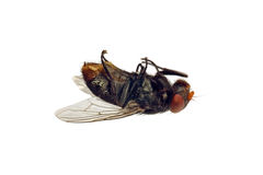 Dead Fly. A dead flesh-fly on its back and isolated over a white background. (Sarcophagidae family Stock Photography