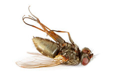 Dead fly. Insect isolated over white background Royalty Free Stock Photography