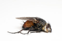 Dead fly Royalty Free Stock Photos