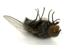Dead Fly. Photo of a Fly on Its Back - Insect Related Royalty Free Stock Photo