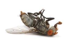 Dead fly Royalty Free Stock Photos