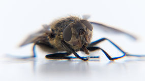 Dead fly Stock Photos