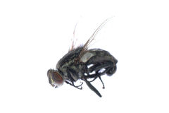 Dead fly insect Stock Photography