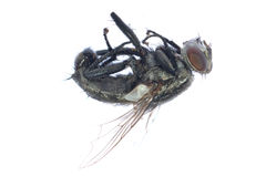 Dead fly insect Royalty Free Stock Photo