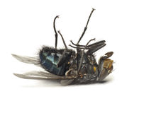 Dead fly isolated on white. Background royalty free stock image