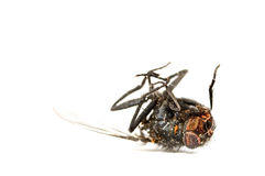 Dead fly isolated in white.  Royalty Free Stock Image