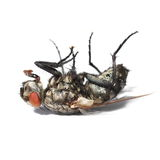 Dead fly isolated Royalty Free Stock Images