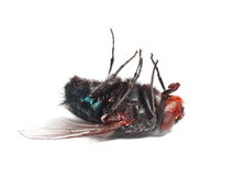Dead fly isolated on white Stock Photography