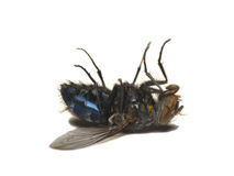 Dead fly isolated on white(Caliphora vomitoria). Dead flies on a white background royalty free stock photo