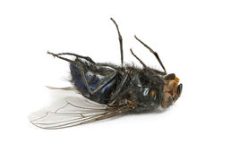 Dead fly lying on its back, isolated Royalty Free Stock Photography