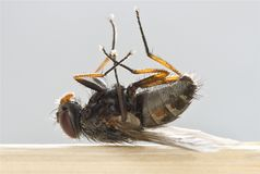 Dead Fly - Macro Royalty Free Stock Images