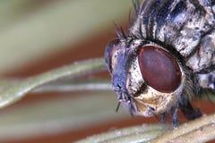 Dead Fly Macro Royalty Free Stock Photo