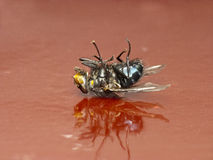 Dead fly Royalty Free Stock Image