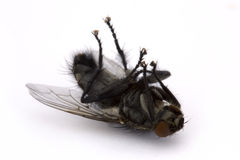 Dead fly over white. Dead fly on a white background Stock Photography