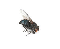 Dead fly Stock Photography