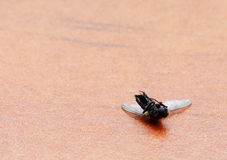 Dead fly Stock Image