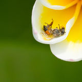 Dead fly in a yellow flower Royalty Free Stock Photography