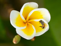 Dead fly in a yellow flower Royalty Free Stock Photos