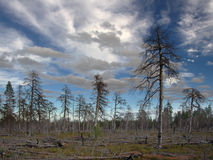 Dead forest. Forest landscape. Big fire was there 7 years ago. Oleniy island, White Sea, Russia Stock Photography