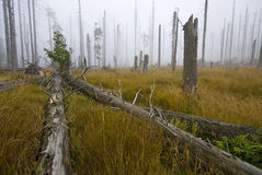 Dead forest. In foggy day Stock Photography