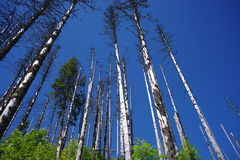 Dead forest. With blue sky as a background Stock Photography