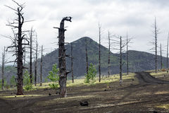 Dead Forest Dead Wood on Kamchatka Peninsula Royalty Free Stock Image