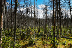 Dead forest in Europe. Stock Photos