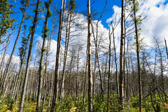 Dead forest in Europe. Stock Image