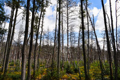 Dead forest in Europe. Stock Photography