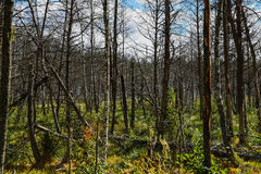 Dead forest in Europe. Royalty Free Stock Photography
