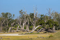 Dead forest in the Okavango swamps. Moremi game reserve landscape, Okavango Delta, Botswana Stock Photo