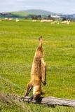 Dead Fox Stock Image