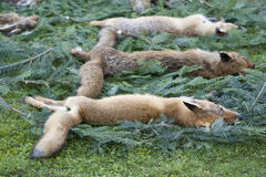 Dead foxes Royalty Free Stock Photo