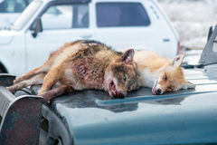 Dead foxes after the hunt Stock Images