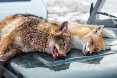 Dead foxes after the hunt Stock Photography