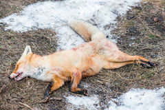 Dead foxes after the hunt Royalty Free Stock Photo