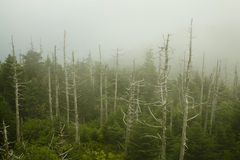 Dead Fraser Firs, Clingmans Dome Royalty Free Stock Image